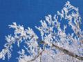 枝の雪化粧