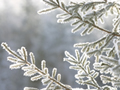 杉葉の樹氷