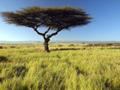 サバンナのアカシアの木