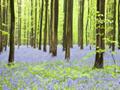 ブルーベルの咲く森