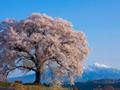 王仁塚(わにつか)の桜