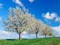 並んだ桜の木々