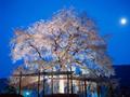 月と桜の古木
