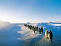 皇帝ペンギンの行列