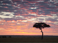 いちじくの木のシルエット(ケニア)