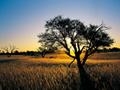 キャメル・ソーンの木(南アフリカ)