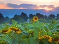 ひまわり畑の日没