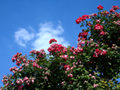 青空と高いバラの木