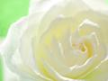 白バラのクローズアップ