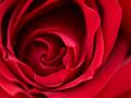 赤バラのクローズアップ