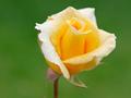 イエローローズの花