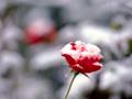 雪積もる赤バラ