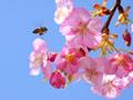 蜂と桜の枝