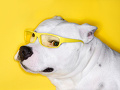 黄色いメガネのピットブル