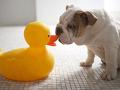 おもちゃのアヒルと犬