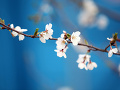 桜のひと枝