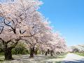 晴れた桜並木