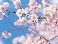 ほころぶ桜のつぼみ