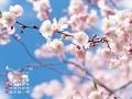 青空と桜の花(4月カレンダー)