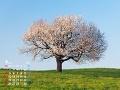 夕暮れの草原と桜の木(4月カレンダー)