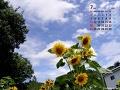 ひまわり(7月カレンダー)