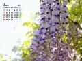 光を浴びる藤の花(3月カレンダー)