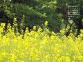菜の花の歓迎(3月カレンダー)