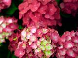 鮮やかに咲く紫陽花