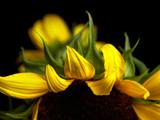 ひまわりの花びら