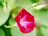 赤いアサガオ(6月カレンダー)
